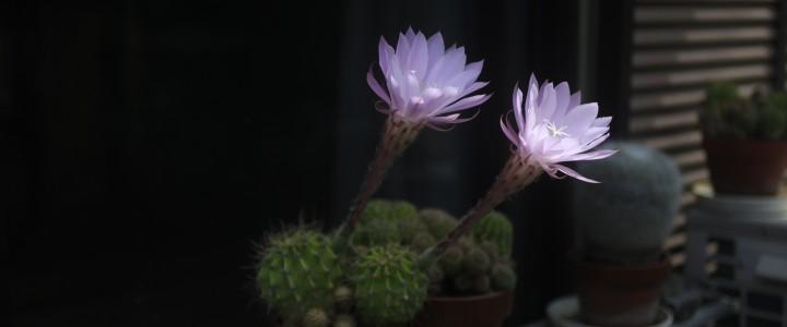 庭のサボテンが開花